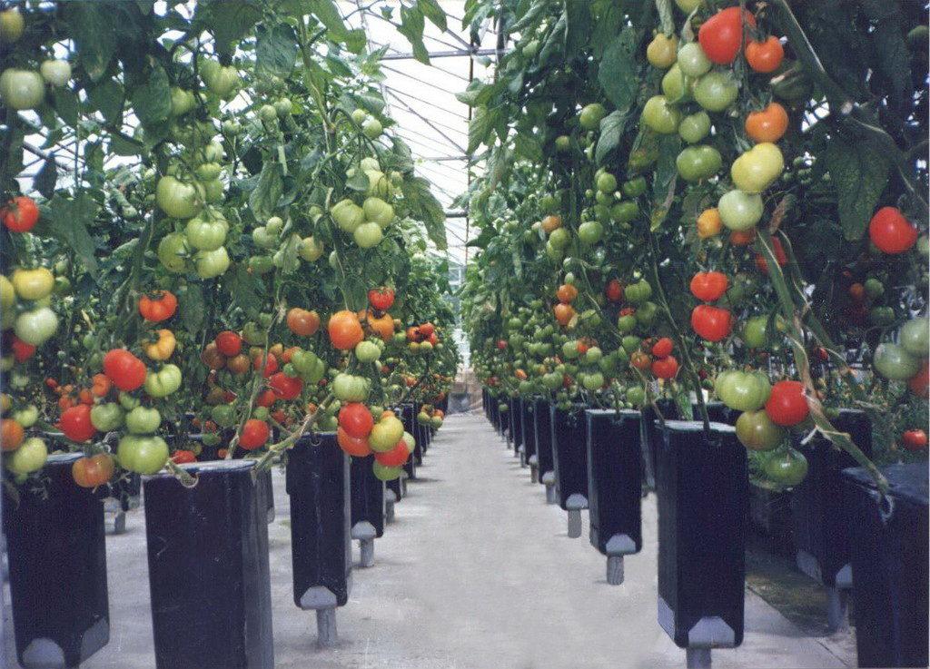 Грунтовые помидоры выращивание 24